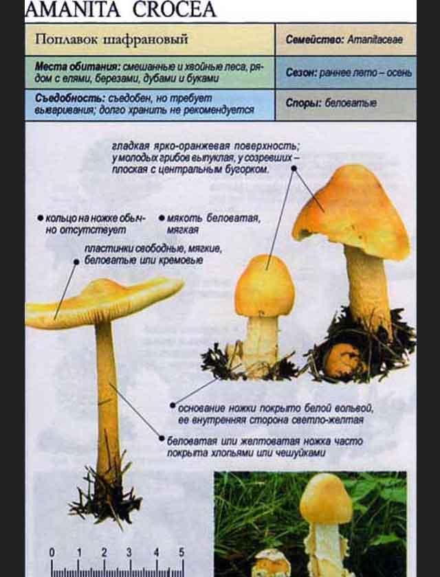 грибы поплавки фото и описание