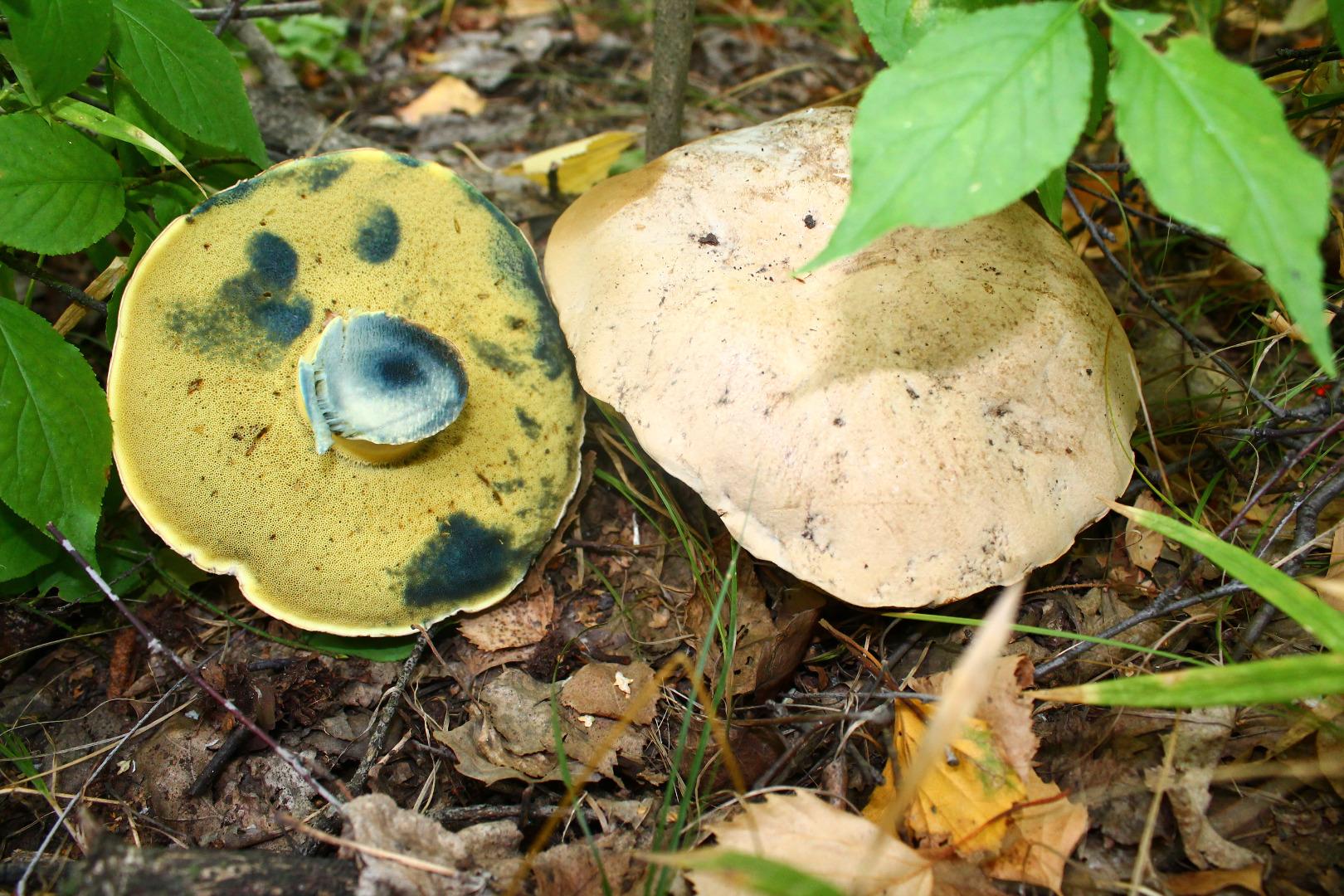 Съедобные грибы ягоды растения