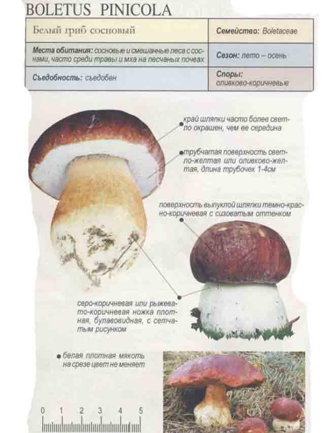 грибы фото с описанием