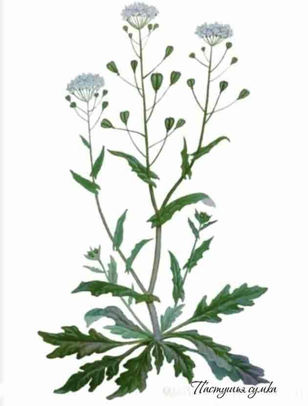 цветок пастушья сумка