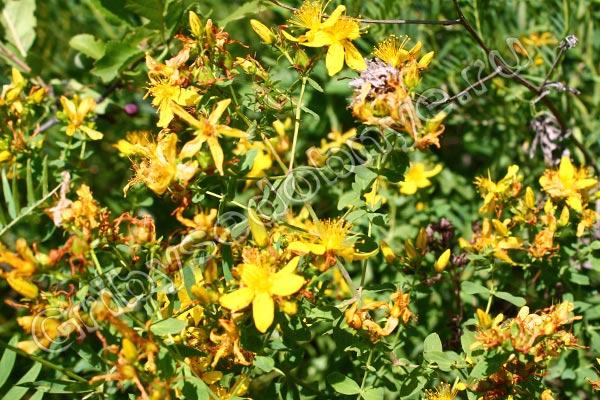 Растение зверобой фото