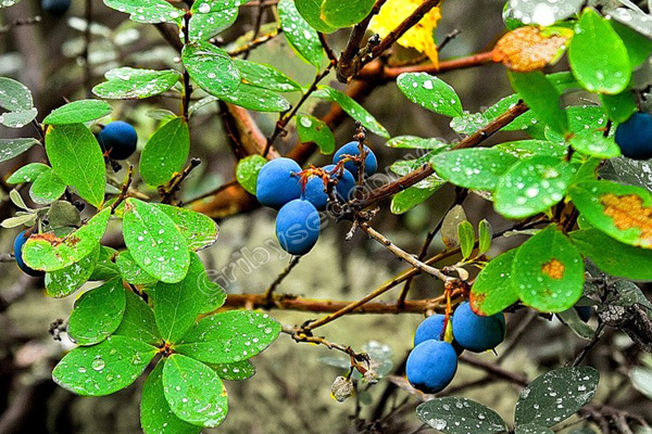 листья голубики лечебные свойства и противопоказания
