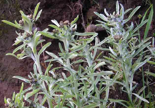 сушеница болотная фото