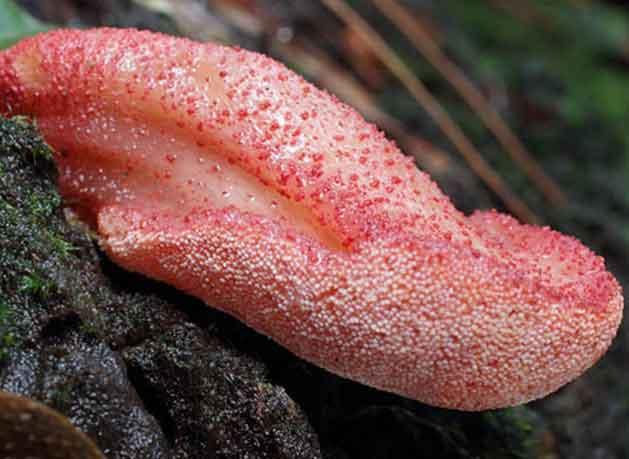 На фото молодое плодовое тело печёночника, похожее на бычий язык