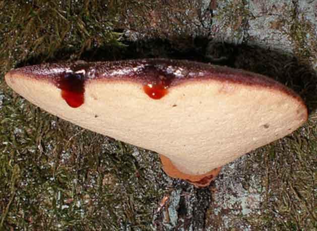 Выступающие кровавые пятна на гименофоре гриба нередкость для этого вида