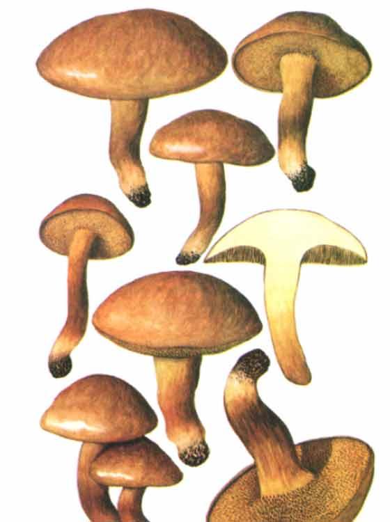 гриб решетник фото описание