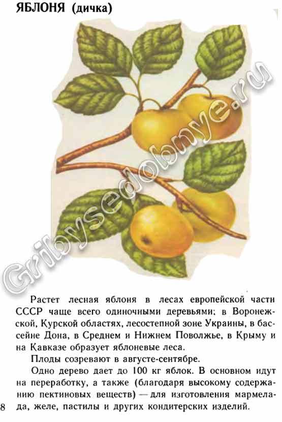 Яблоня цветы описание и