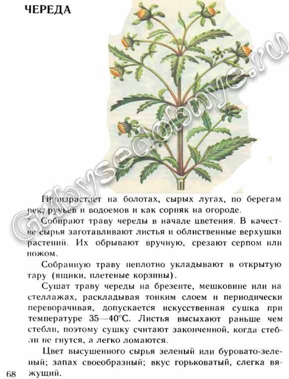 череда  растения