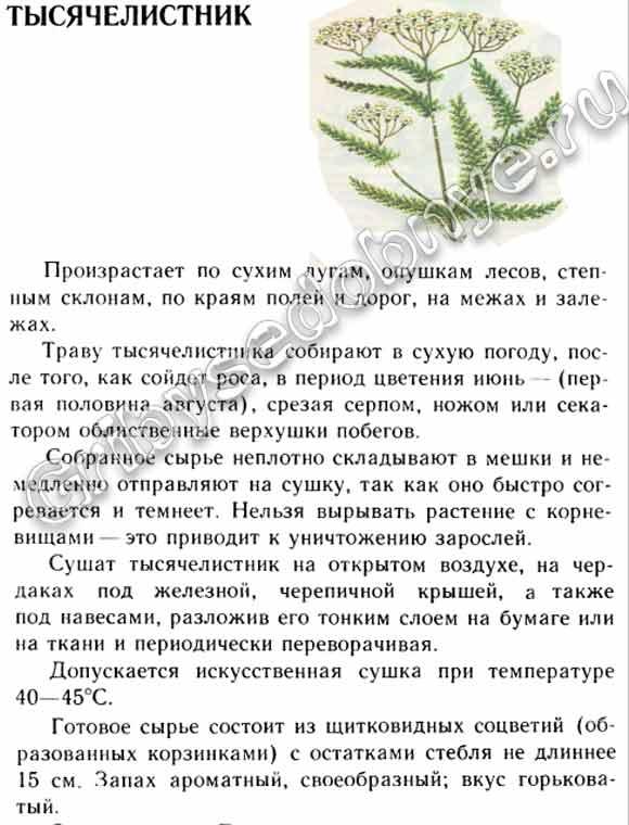 как выглядит растение тысячелистник