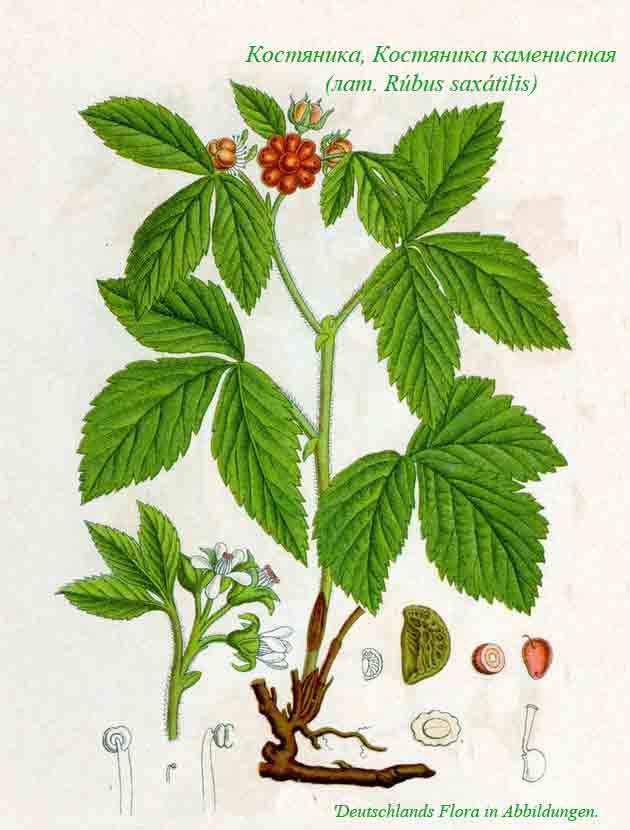 костяника фото ягода