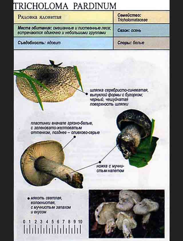 ядовитые рядовки грибы фото