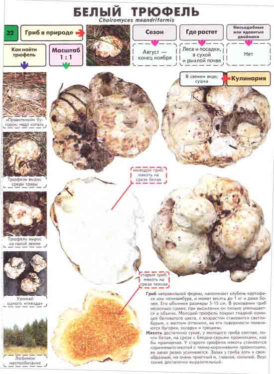 Трюфель рецепт гриб