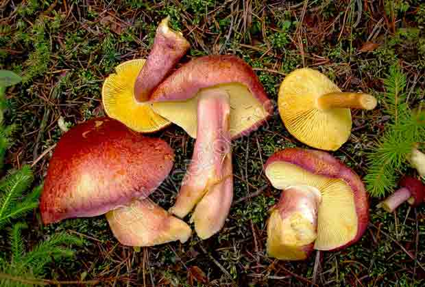 рядовка красная грибы фото