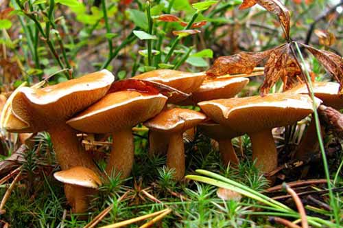 грибы козляки фото и описание как готовить