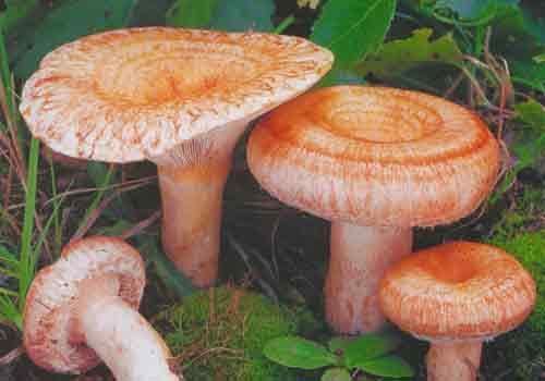гриб волнушка фото и описание